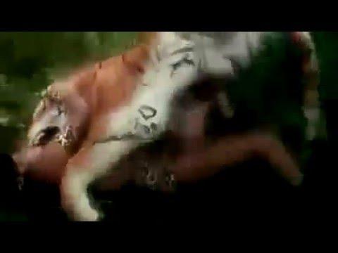 Võitlus tiigri ja inimese vahel.
