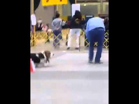 Kiire koer