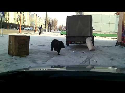 Tantsiv karu